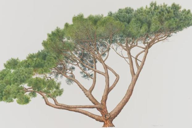 pinus-pinea-botanical-painting